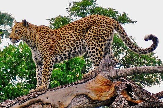 Leopard Cat Great D20pfsrd